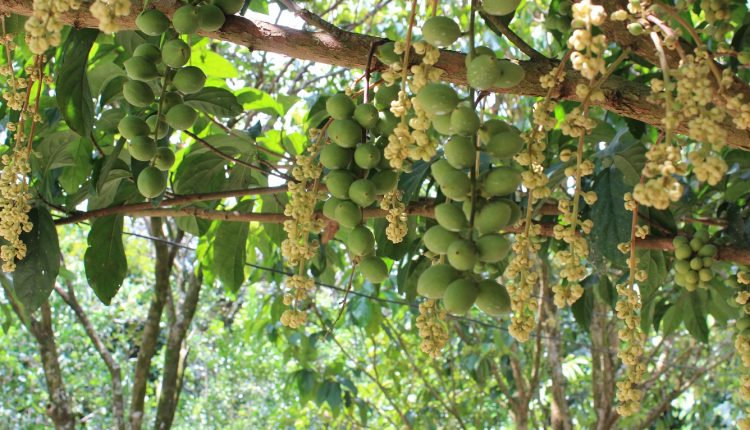 vườn trái cây cái mơn chợ lách bến tre
