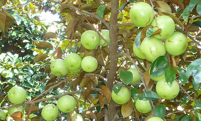 vườn trái cây ở cai lậy